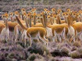 Rumo a Chivay: Lindas paisagens e habitat natural de vicunhas